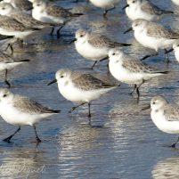 Bécasseaux sanderling