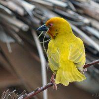 Tisserin jaune - Zanzibar